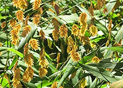 Northern Sea Oats-50 Seeds-(Chasmanthium latifolium) attractive ornamental grass