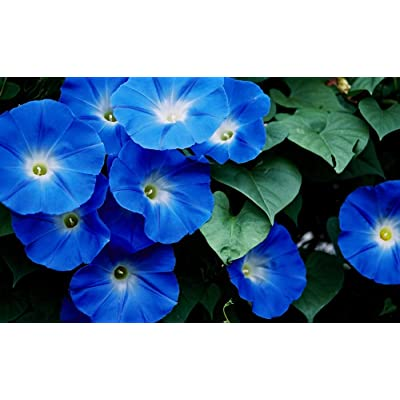 Heavenly Blue Morning Glory, Large Packet of 1, 500 Seeds Untreated - by Seeds2Go : Garden & Outdoor