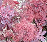 Velvet Cloak Purple Smoke Tree ( smokebush ) - Live Plant - Quart Pot