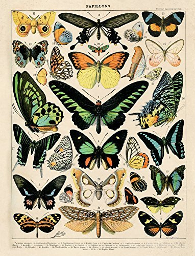 ench Butterfly Papillons Diagram Chart by Adolphe Millot Poster Reproduction Print Insects ()