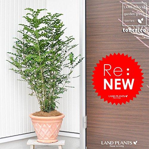 モンステラ 高さ85cm~100cm 白陶器鉢+黒鉢カバー 生花 観葉植物 B075V2D4NP