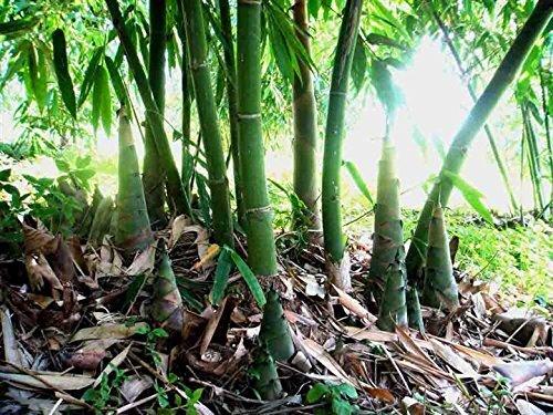 4 Pound (1816 grams) Vacuum packaged fresh tender bamboo shoots from China by JOHNLEEMUSHROOM RESELLER