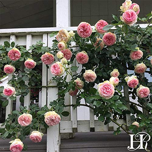 2-Pack Own-Root One Gallon Eden Climbing Roses by Heirloom Roses by Heirloom Roses (Image #2)