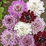 Everwilde Farms - 50 Pincushion Flower Mix Wildflower Seeds - Gold Vault Jumbo Seed Packet
