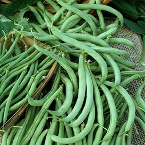David's Garden Seeds Bean Bush Tendergreen Z98I71 (Green) 100 Heirloom Seeds