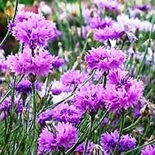 Cornflower- Mauve- 100 Seeds