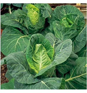 Vegetable Cabbage January King 1600 Seeds