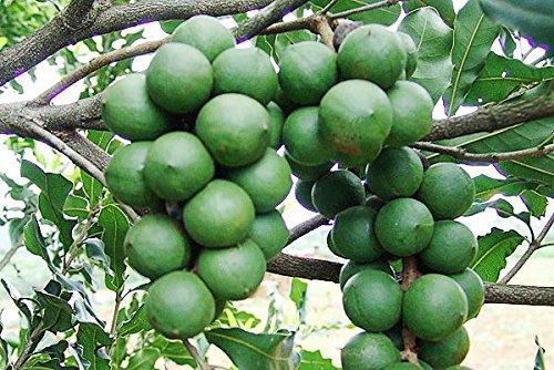 4 Pound (1816 grams) Stir-fried nut Macadamia ternifolia F. Muell Grade A from China