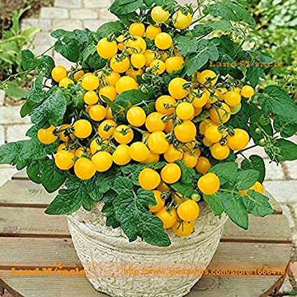 Amazon.com: Bonsai Semillas Tomato 1 Professional Pack, 100 ...