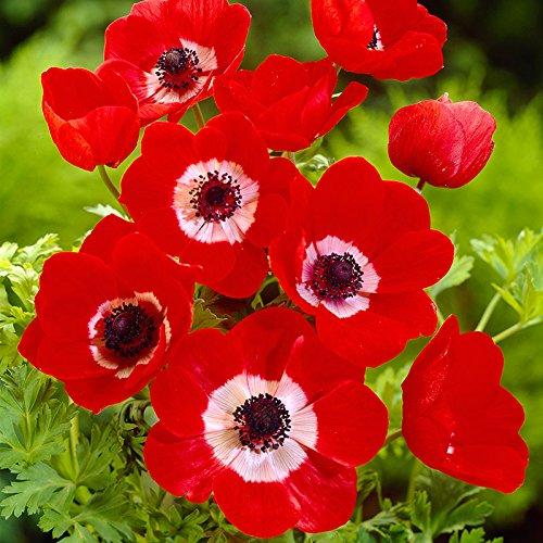 6 100 bulbo Pinkdose Es cierto Amaryllis Bulbos de la planta de jard/ín Hippeastrum Bulbos bonsai bulbos de flores Amarilis rizomas Bulbos Barbados Lily maceta