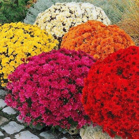 50pcs / bolsa de tierra-cubierta del crisantemo del jardín, Semillas crisantemo semillas de flores perennes como las semillas de la margarita por: Mezcla: Amazon.es: Jardín