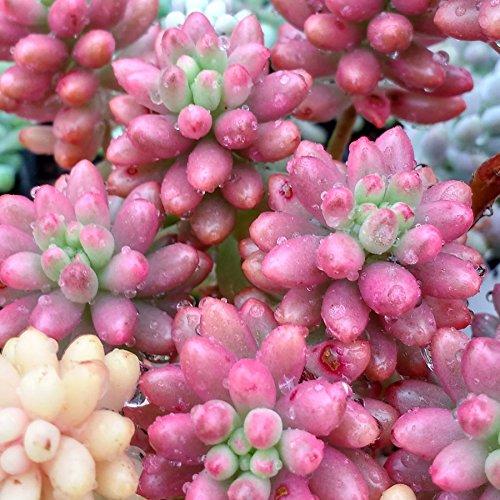 Sedum rubrotinctum Aurora - 1-3 cm Leaf Cutting (unrooted) Sunnyplants.com