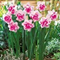 Tuoxie 100-Pieces Decor Plants Flowers Daffodil Seeds