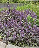 Clovers Garden Purple Sage Herb Plants- Non GMO-Two (2) Live Plants - Not Seeds -Each 4''-7''tall- in 3.5 Inch Pots