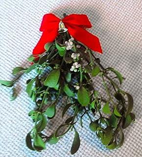 Amazoncom Fresh Large Real Mistletoe Christmas Holiday Kissing