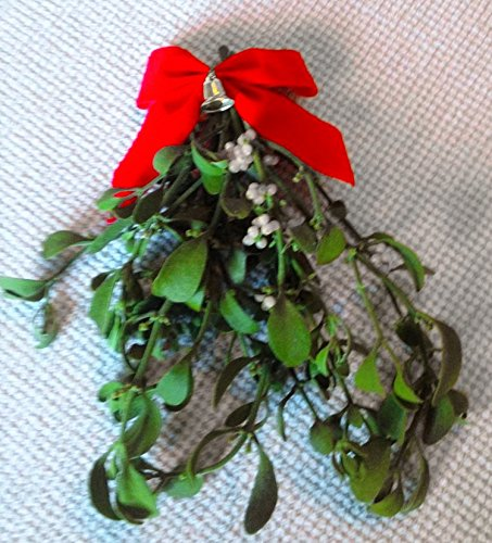 ALLO Botanicals Mistletoe - 1 Large Bundle - 8 to 12 Inches - Fresh, Real, All ()