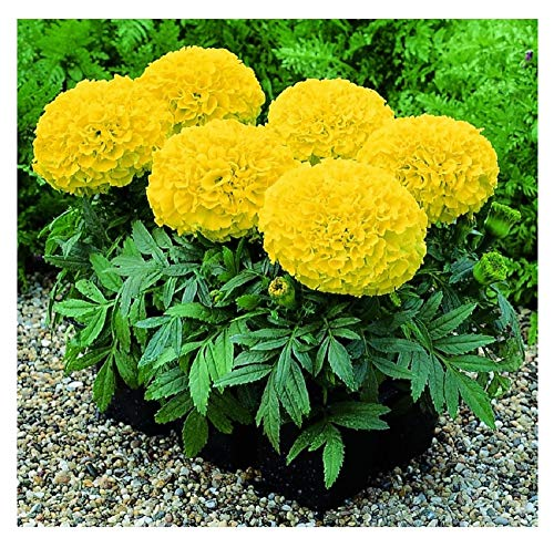 David's Garden Seeds Flower Marigold Giant Yellow SL1884 (Yellow) 50 Non-GMO, Hybrid Seeds