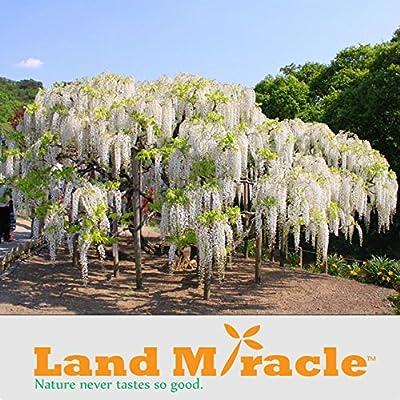 Seeds family worship!5 seeds / pack, Rare Climbing Flower Plants White Wisteria seeds, Bonsai Wisteria Sinensis Tree for DIY Home & Garden Plants : Garden & Outdoor