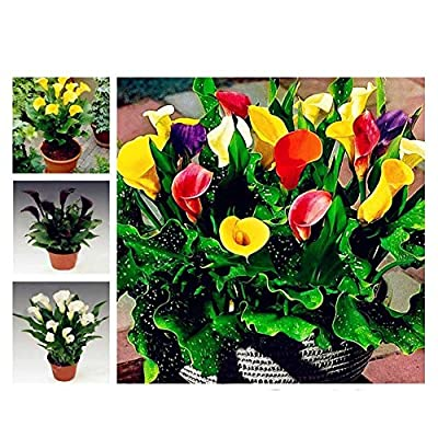 C-Pioneer 100pcs Bonsai Colorful Calla Lily Seeds Rare Flower Seeds Plants Decor : Garden & Outdoor