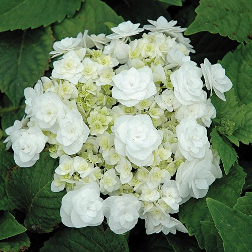 Delight Bouquet (Wedding Gown White Double Delights Hydrangea - Live Plant - Quart Pot)