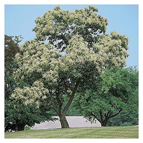 Chinese Chestnut Tree Castanea mollissima Heavy Established Roots 1 Trade Gallon Pot - 1 plant by Growers Solution