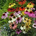 New! 25+ Echinacea Lustre Mix/ Cone-flower Flower Seeds Perennial