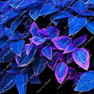 100 bag blue coleus seeds beautiful flowering plants for Spell balcony