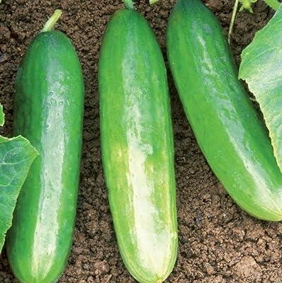 Organic Diva Cucumber 35 Seeds #887 Item Upc#650348691516