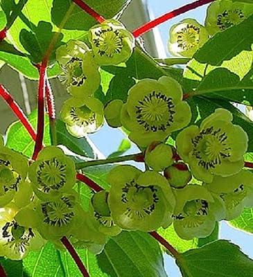 Actinidia deliciosa, Fuzzy Male Kiwi vine. Live plant to 1'-2' tall