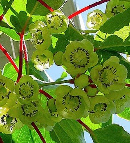 Actinidia deliciosa, Fuzzy Male Kiwi vine. Live plant to 1'-2' tall by Maya Gardens, Inc. (Image #4)