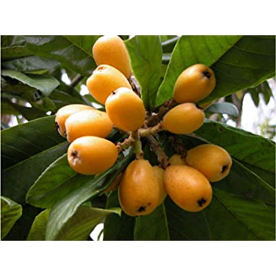 Loquat (10 Seeds) : Garden & Outdoor