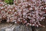astorfarm Sedum (Sedum Hispanicum) Spanish Stonecrop,Drought Tolerant, Low-Growing, Low-Maintenance Ground Cover? (100 Seeds)