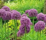 Allium Globemaster Bulbs - Pack of 3 Large Bulbs Imported from Holland