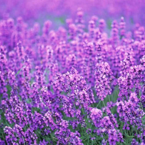 [Free Shipping] 10PCS Purple Lavender Seeds Aromatic Plant Garden Plants // 10pcs semillas de lavanda prpura plantas de jardn de plantas aromticas