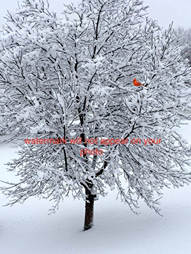 Photograph Photo Picture Winter Snow Tree with Red Cardinal Bird in It 16x20 wall art home ()