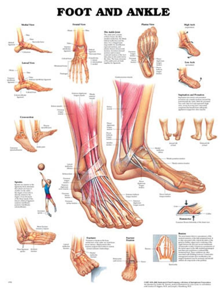 amazon.com: human foot and ankle anatomy chart: industrial & scientific  amazon.com