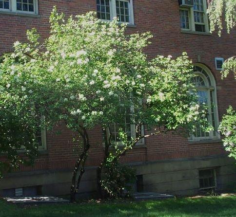 Viburnum Tree - 50 Nannyberry Viburnum Seeds, Viburnum Lentago