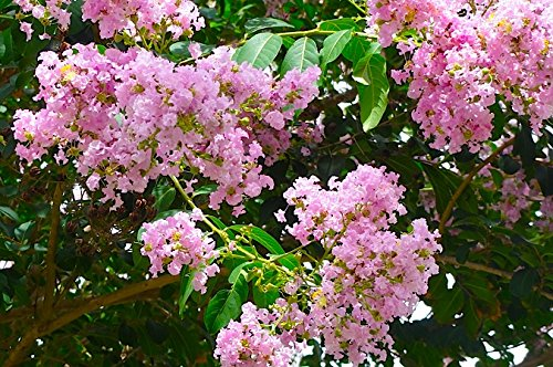 LARGE BASHAM'S PARTY PINK CRAPE MYRTLE, 2-4ft Tall When Shipped, FASTEST GROWING CRAPE MYRTLE, Matures 30ft, 1 Tree, Delicate Light Pink (Shipped Well Rooted in Pots with Soil) by The Crape Myrtle Company (Image #2)