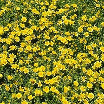 Dahlberg Daisy- - 200 seeds