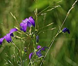 Home Comforts Laminated Poster Meadow Nature Flowers Wildflowers Campanula Patula Poster Print 24 x 36