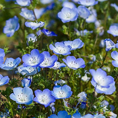 Flower Seeds - 4 Oz - Annual Wildflower Garden Seeds - Phacelia campanularia by Mountain Valley ()