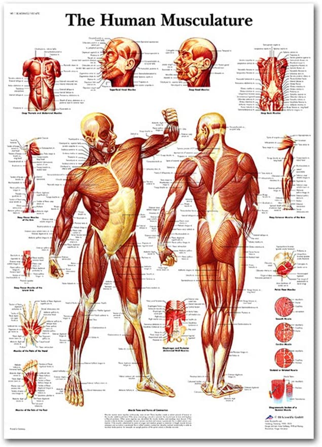 Laminated Anatomical Poster Set Muscular Digestive Respiratory Skeletal