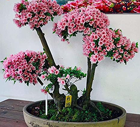 10 Japanese Flowering Cherry Blossom Bonsai Seeds Exotic Rare Sakura Bonsai Seeds Home Kitchen Amazon Com