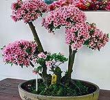 10 Japanese Flowering Cherry Blossom Bonsai