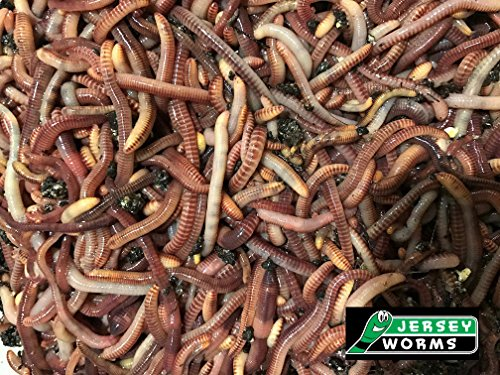 Jersey Worms European Night Crawlers One Pound
