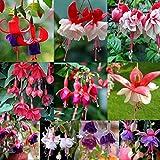 Bluelans 50Pcs Beautiful Fuchsia Flower Seeds Golden Bell Home Garden Yard Plant