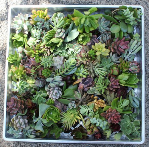 100 (40 varieties) Succulent CUTTINGS great for Vertical ...