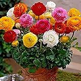 50Pcs Ranunculus Persian Buttercup Flower Seeds Perennial Gardening Plant Decor