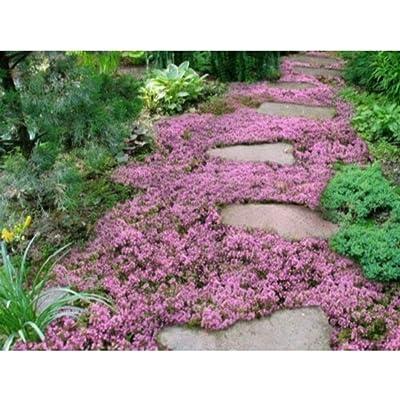 10, 000 Creeping Thyme Herb Thymus Serpyllum Groundcover Seeds MCR02 : Garden & Outdoor
