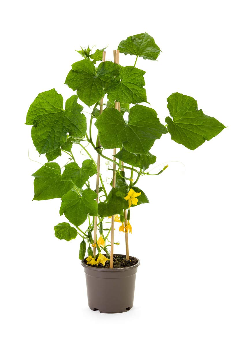 Pack of 6 Organic Snack Cucumber Plants | Ready-to-Plant | Plantables by Plantables (Image #3)